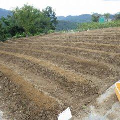 微細なカモマイル・ジャーマンの種を培養土に混ぜて蒔きました