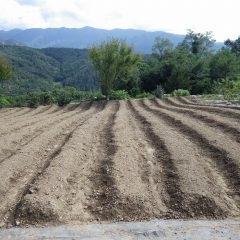 14日に種蒔きをしたカモマイル・ジャーマン畑