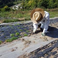 マルチの穴を埋め尽くした雑草を取り除きます