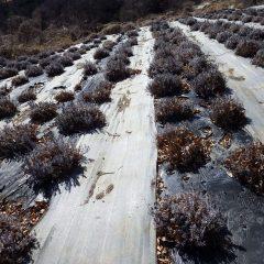ラベンダー畑の落ち葉片付けの続きです