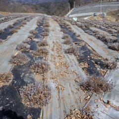 株の中にまで入り込んだ落ち葉を通路に掃き出します