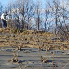 ローズ畑でも清掃が行われています