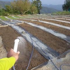 播種してから雨らしい雨が降っていなかったので発芽を促す為に灌水しました