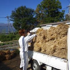 今年も稲ワラを敷いて冬支度をする季節となりました