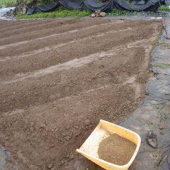 種が小さいので培養土とよく混ぜてから蒔きます