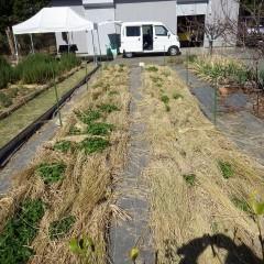 レモンバーム畑