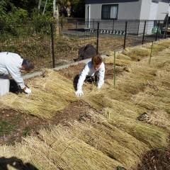 今では貴重な稲ワラは畑の凍結防止と春先の防草に役立ちます