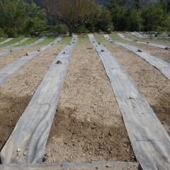 なかなか芽の出ないカモマイル・ジャーマン畑