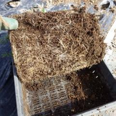 トレーで育てた苗は底まで根がビッシリと育っています
