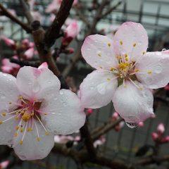 雨の中で咲き誇るアーモンド