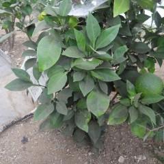 オレンジ・ビター(ダイダイ)は去年の実と今年の実が一緒に育っています