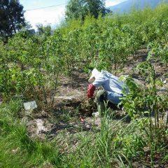 事務局前のローズ畑で除草作業中