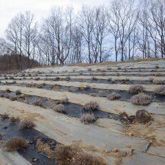 ラベンダー畑の春剪定