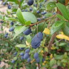 サルデーニャ島には「ミルト」という果実酒を作る伝統があります