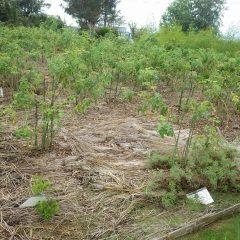 除草作業の終わった事務局前のローズ畑