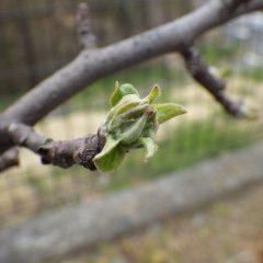 姫リンゴの芽が膨らんで来ました