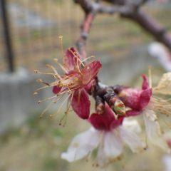 アプリコットの花は冷たい雨に打たれて散っています