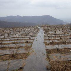 農場のローズ畑には冷たい雨が降っています