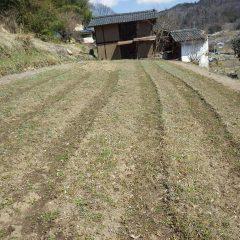 春の陽射しをいっぱいに浴びているヨモギ畑