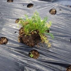 トレイから取り出した苗の固まり