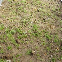 良く陽の当たる場所は発芽も良く本葉も大きく育っています