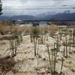 事務局前のローズ畑は緑が目立って来ました