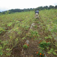 雨交じりの中、ローズ畑の除草作業は続けられています