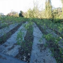 片付けの終わったローズ畑は剪定の準備が整いました