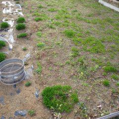 お昼過ぎには雨が止んで来たので事務局前のカモマイル・ローマンの除草作業