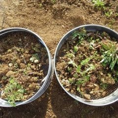 ふるいで土を畑に戻して雑草と小石を取り除きました