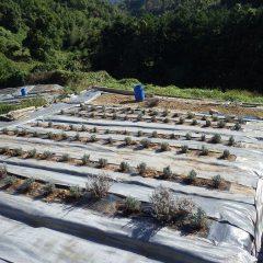 定植の終わったラベンダー畑