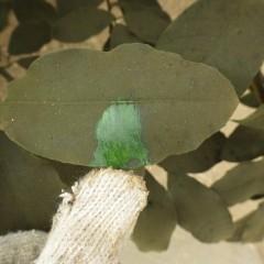 葉を指で擦るとカビが取れて元の葉の色が出てきます