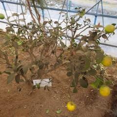 レモンの葉も実も煤けています