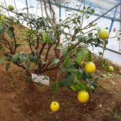 洗浄が終わって色付き始めたレモンの実が輝いて見えます