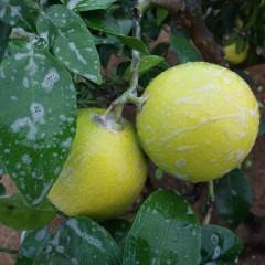 グレープフルーツの実もゴシゴシ洗いました