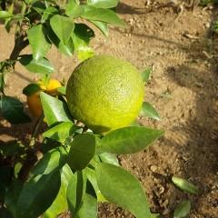 オレンジ・ビター(ダイダイ)の今年の実はまだ黄緑色