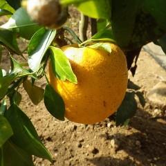 昨年の実は橙色のまま同じ木に代々にわたり実を付ける縁起物