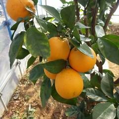 オレンジ・スイート(ブラッドオレンジ)は黄金色に輝いています