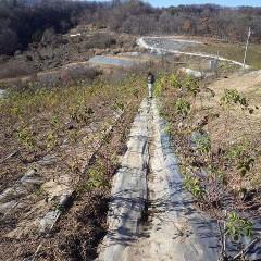 農場では寒風の中でローズ畑の清掃が続いています