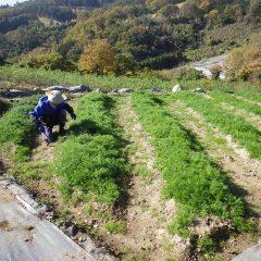 カモマイル・ジャーマン畑の除草作業も終盤を迎えています