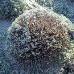 満遍なく花穂が出る様ドーム状に剪定をします