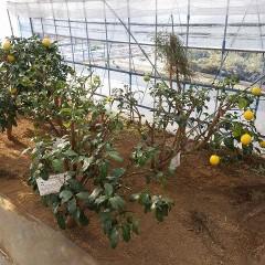 寒さに弱い柑橘の冬支度をするためレモンとライムを収穫しました