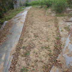 最後に残ったカモマイル・ジャーマンの予備畑