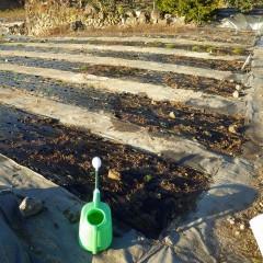 根が早く活着するように灌水をして終了