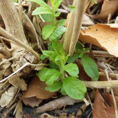 レモンバーベナの新芽も出始めています