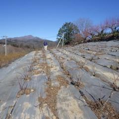 剪定の終わったローズ畑