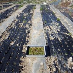 カモマイル・ジャーマンの除草と補植の続きをしました
