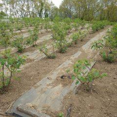 除草作業の終わったローズ畑