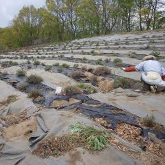 息つく暇もなくラベンダー畑の除草作業が始まっています