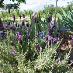 ラベンダー・ストエカスも咲きそろいました